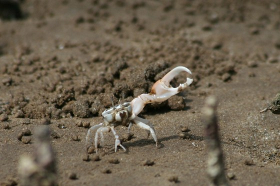 Bako one clawed fiddler crab