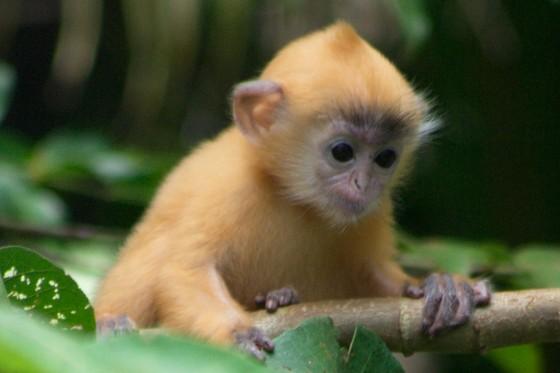 baby-silver-leaf-monkey