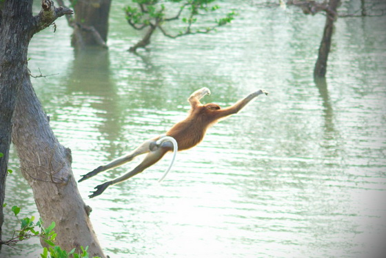 diving proboscis monkey