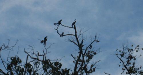 Darters in the tree tops