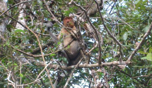 Sungai Kinabatangan Proboscis Monkey